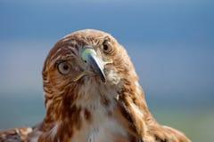 鵟鸟老鹰jamaicensis红色尾标 库存照片