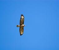 鵟鸟肉食公用 库存图片
