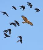 鵟鸟肉食有腿的长的rufinus 免版税库存照片