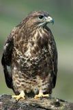 鵟鸟肉食纵向 免版税库存图片