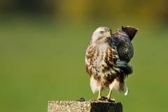 鵟鸟肉食 库存图片