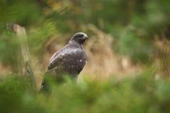 鵟鸟鵟鸟 拍摄在捷克 它遍及欧洲发生 库存图片