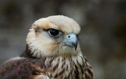鵟鸟鵟鸟 库存照片