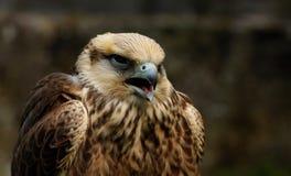 鵟鸟鵟鸟 免版税库存图片