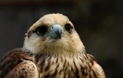 鵟鸟鵟鸟 免版税库存照片