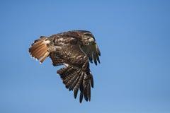 鵟鸟鹰被盯梢的jamaicensis红色 库存图片