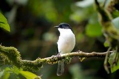 黑鸟、支持黑暗的Sibia & x28; 软化melanoleucus& x29;站立 库存图片
