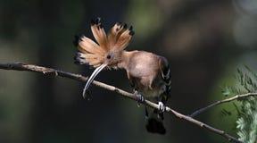 鸟、欧亚戴胜或者共同的戴胜Upupa epops 免版税库存照片