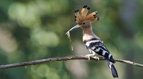 鸟、欧亚戴胜或者共同的戴胜Upupa epops 免版税库存图片