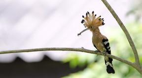 鸟、欧亚戴胜或者共同的戴胜Upupa epops 库存照片