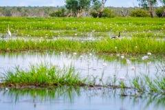 鸟、草和荷花在Corroboree Billabong在北方领土,澳大利亚 免版税图库摄影