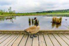 鸟与黑爪子,黑脖子和顶头垂悬的o的一只灰色鹅 库存照片