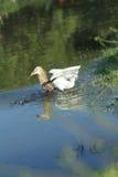 鸟中国苍鹭池塘 免版税图库摄影
