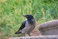 鸟乌鸦在与被弄脏的背景后面的城市环境里 免版税库存图片