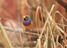 鸟五颜六色的雀科gouldian结构树 免版税库存照片