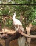 鸟亲切的孔雀少见白色 图库摄影
