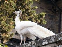 鸟亲切的孔雀少见白色 库存照片