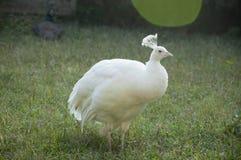 鸟亲切的孔雀少见白色 免版税库存照片