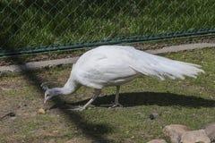 鸟亲切的孔雀少见白色 库存图片