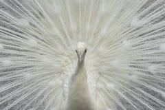 鸟亲切的孔雀少见白色 免版税库存图片
