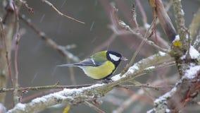 鸟伟大的山雀(帕鲁斯少校)啄种子,当坐分支在雪下时 股票录像
