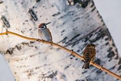 鸟共同的麻雀传球手domesticus坐在桦树背景的一个分支, 库存图片