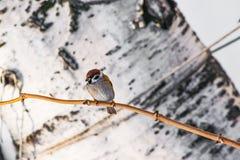 鸟共同的麻雀传球手domesticus坐在桦树背景的一个分支, 免版税库存图片