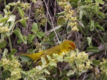鸟加拉帕戈斯 免版税库存照片