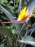 鸟加那利群岛天堂tenerife 库存图片