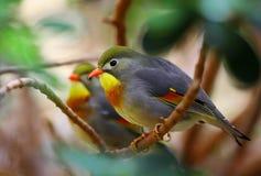 鸟北京知更鸟 免版税图库摄影