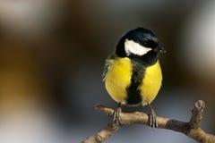 鸟北美山雀 库存照片