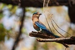 鸟印地安人路辗 库存照片