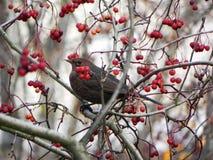 鸟口哨坐分支 鸟在花揪果子在秋天哺养 r 免版税库存图片