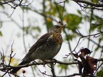 鸟口哨坐分支 鸟在花揪果子在秋天哺养 r 库存照片