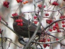 鸟口哨坐分支 鸟在花揪果子在秋天哺养 r 免版税库存照片