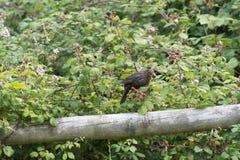 鸟吃一个黑莓 免版税库存照片