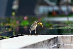 鸟吃小的鱼 免版税图库摄影