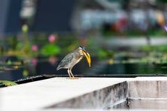 鸟吃小的鱼 免版税库存照片