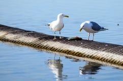 鸟吃着在安大略湖的鱼,采取在多伦多 免版税库存照片
