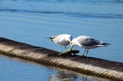 鸟吃着在安大略湖的鱼,采取在多伦多 库存照片