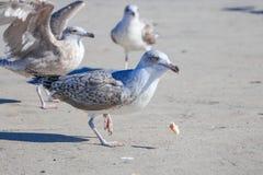 鸟吃面包 免版税库存图片