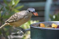 鸟吃 免版税图库摄影