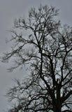 鸟和光秃的分支在非常老A,巨大的树 图库摄影