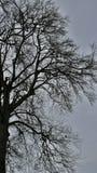 鸟和光秃的分支在非常老A,巨大的树2 免版税库存图片