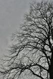 鸟和光秃的分支在非常老A,巨大的树 免版税库存照片