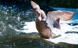 鸟和动物在野生生物 在水的鸭子着陆 免版税图库摄影
