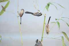 鸟和竹子 免版税库存照片