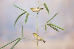 鸟和竹子 库存照片