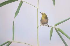 鸟和竹子 图库摄影