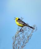 鸟唱歌 免版税库存照片
